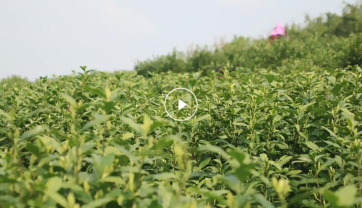 正安水果视频最新官方入口茶業