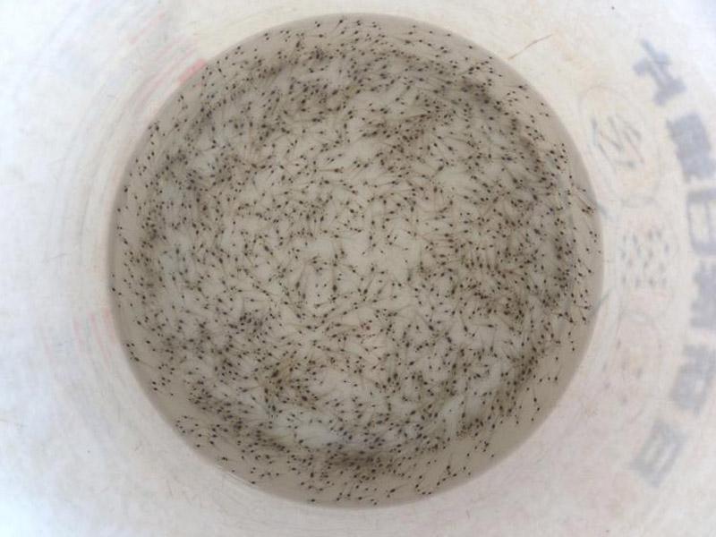 備戰年貨季,國產鮮活南美白對蝦量價齊升