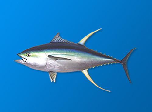 金槍魚肽與平衡尿酸之間的關系