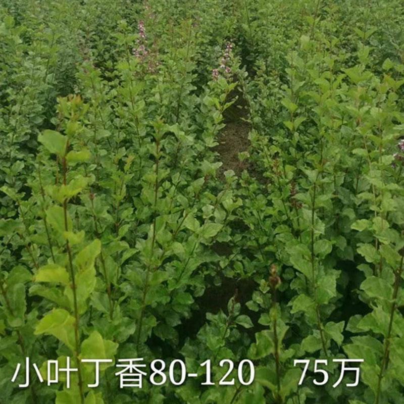 小葉丁香80-120 75萬