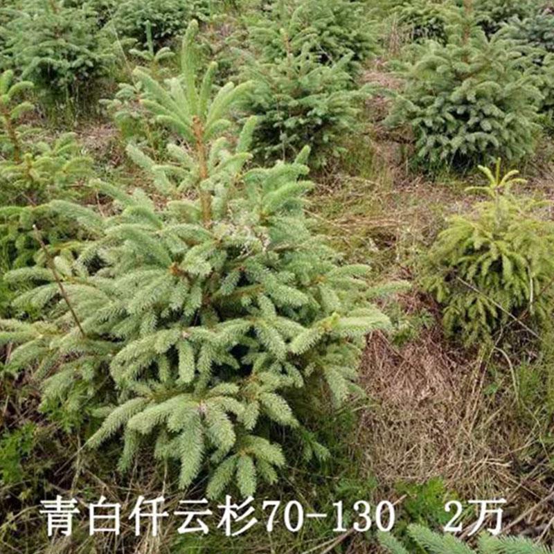 青白仟云杉70-130 2萬