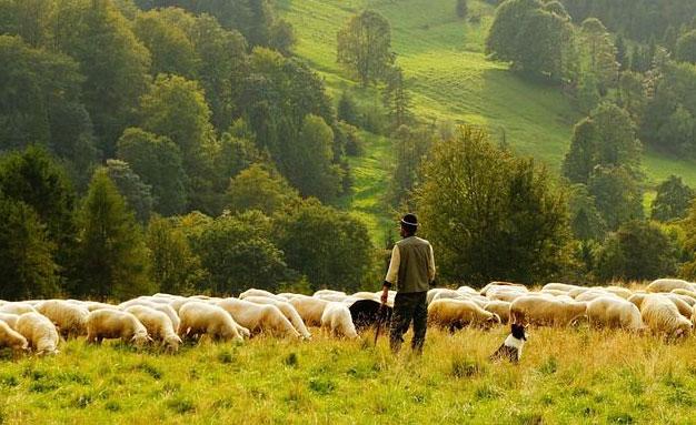 关于养羊的一些误区,你注意到了吗!