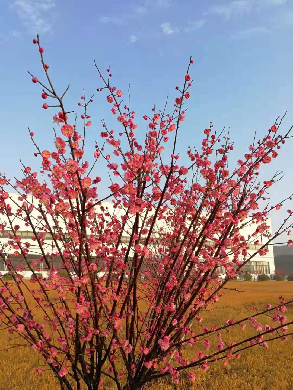 上海大和红梅绽放