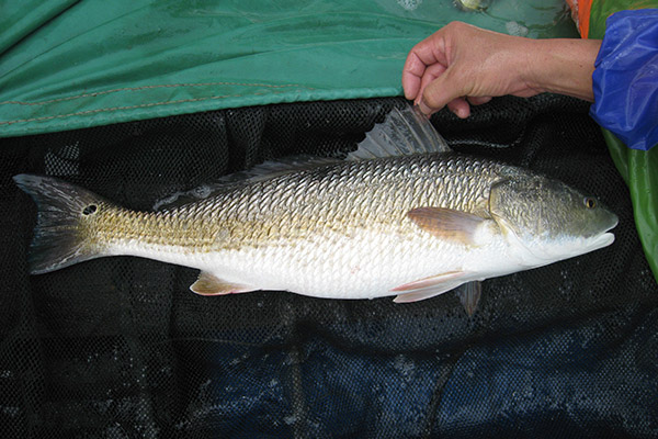 美国红鱼亲鱼