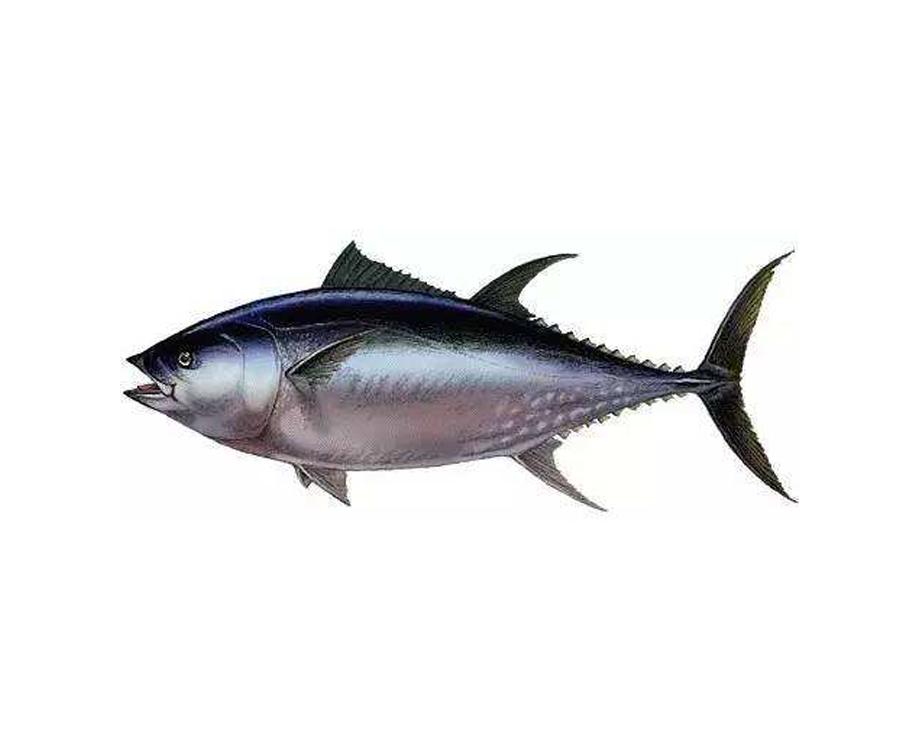 大目金枪鱼