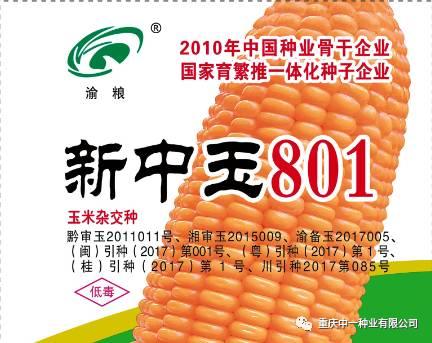新中玉801 | 杂交玉米新时代引领者