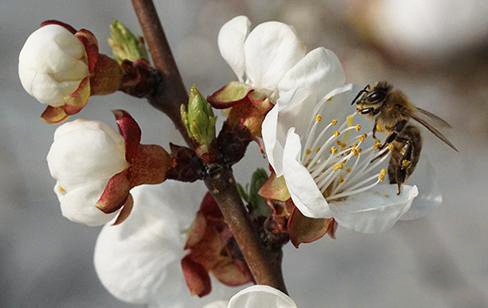 The efficacy and role of bee pollination