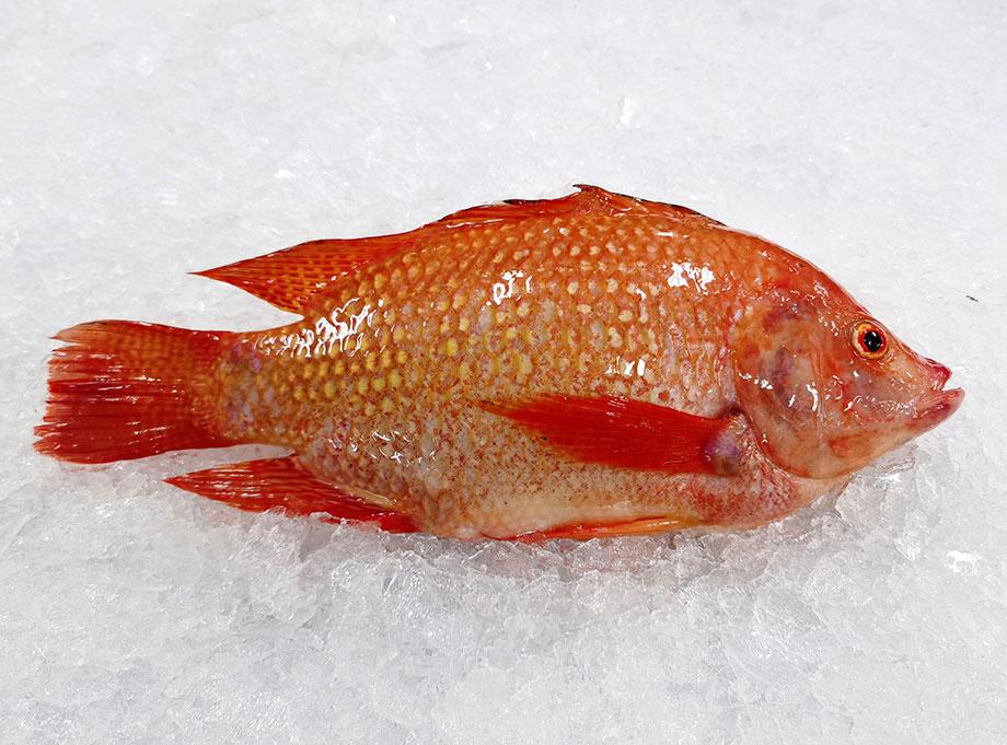 紅羅非魚(彩虹鯛)