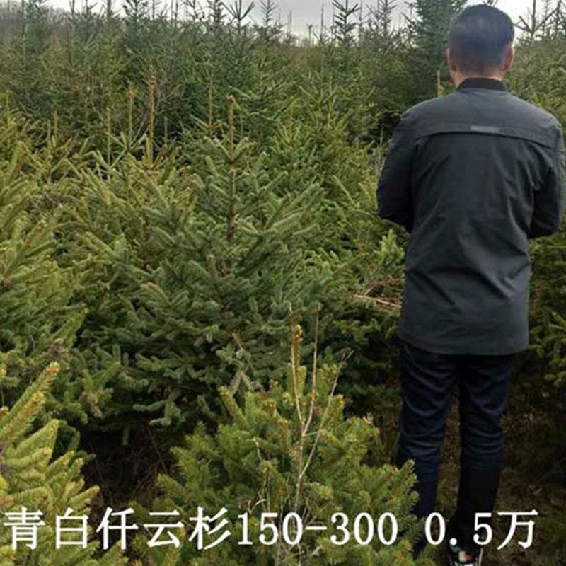 青白仟云杉150-300 0.5萬