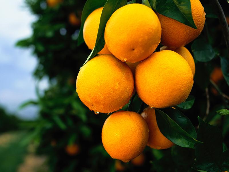 埃及尼羅河橙