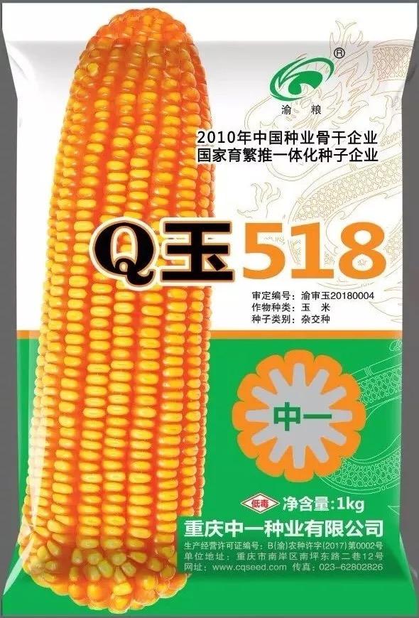 高蛋白型玉米Q玉518--西南玉米界的另一朵金花