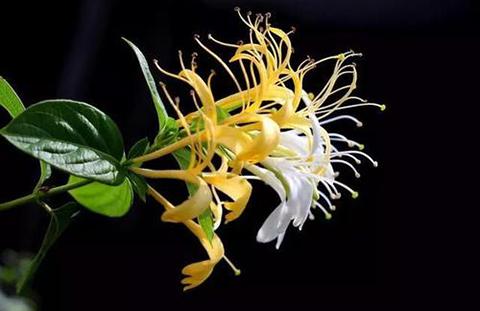 金銀花的形態特征