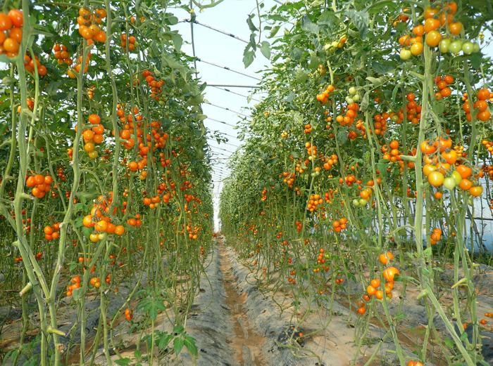 金色小西红柿