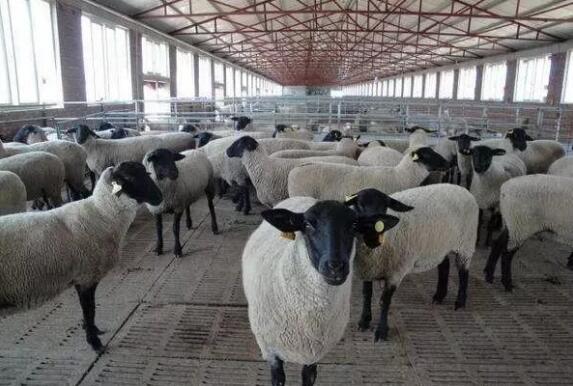 羊光吃不长,你或许是没做对这些!
