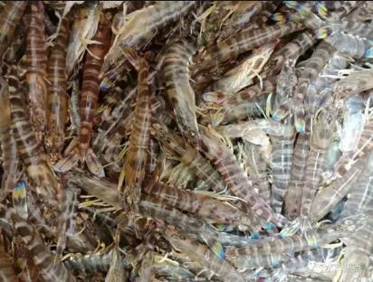 花蝦、斑節蝦價格上漲高達20元/斤,創今年新高!白蝦存塘收尾,價格暖心!
