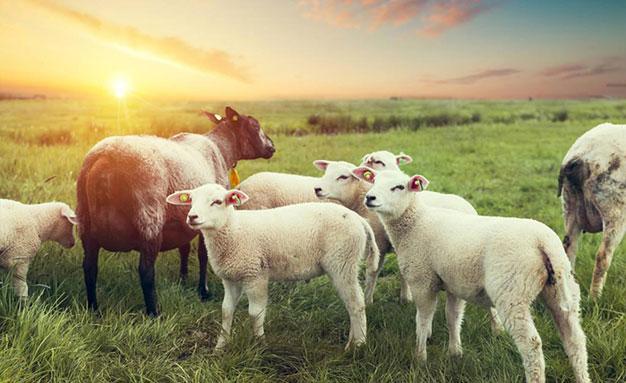牛羊只喂青草,注意以下问题
