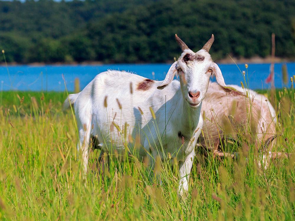 养羊饲料浪费严重,你知道原因及对策吗?