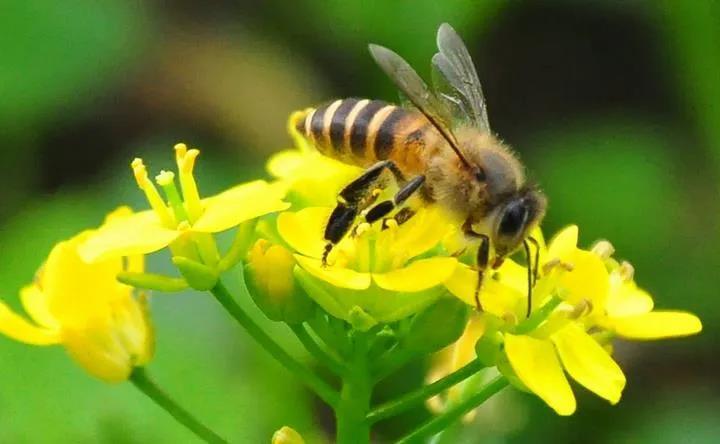 世間萬物環環相扣,人類與蜜蜂皆在其中!