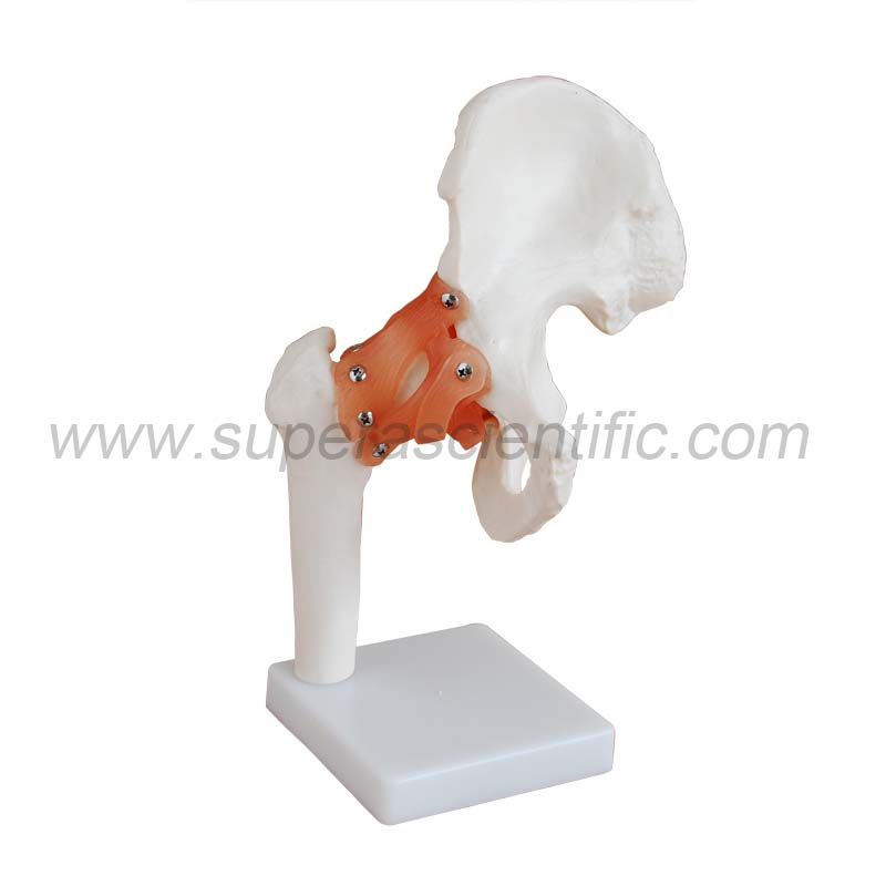 SA-110 Life-Size Hip Joint