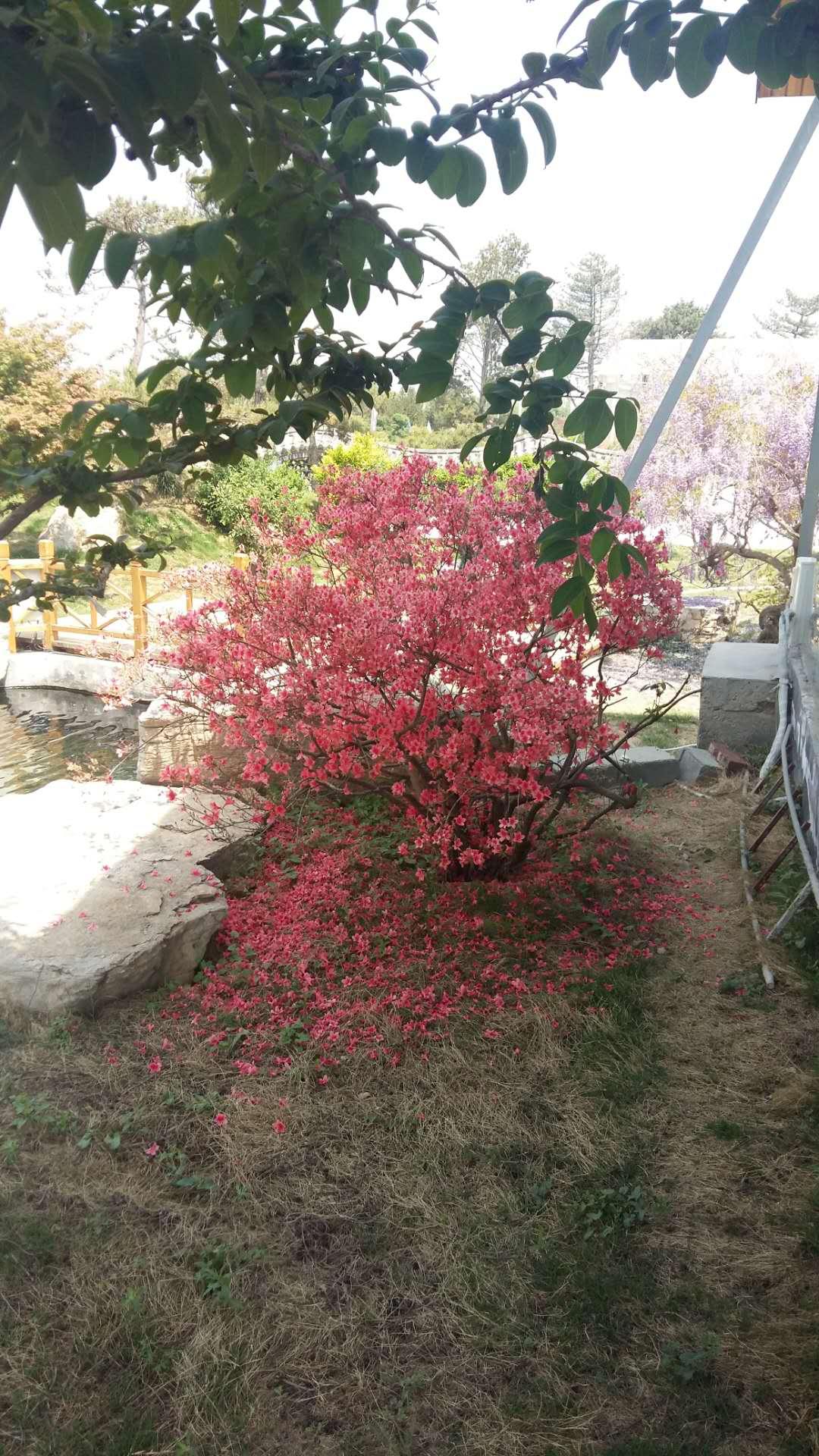 景觀用樹-映山紅