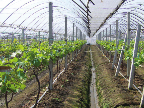 Vineyard drip irrigation