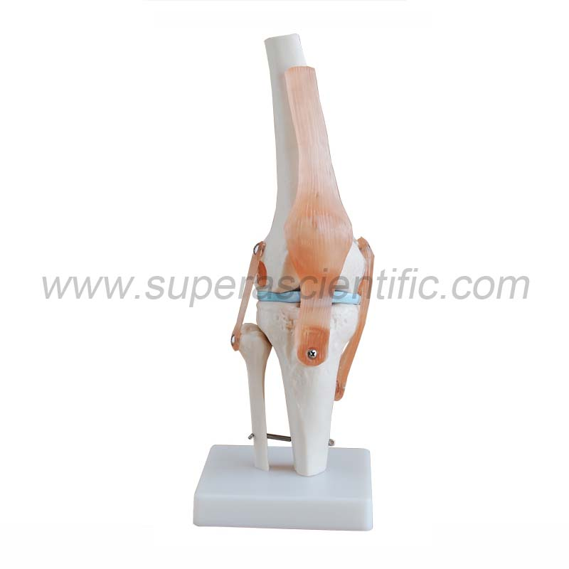 SA-111 Life-Size Knee Joint