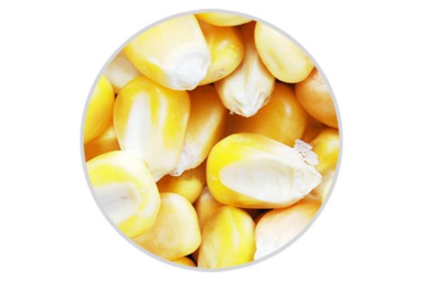 天然有机玉米粒