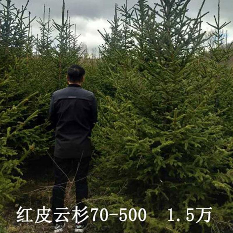 紅皮云杉70-500 1.5萬